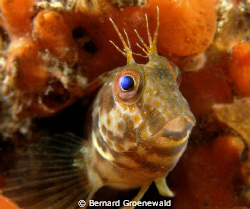 Denny the Blenny was taken on an old wreck called the Haw... by Bernard Groenewald 